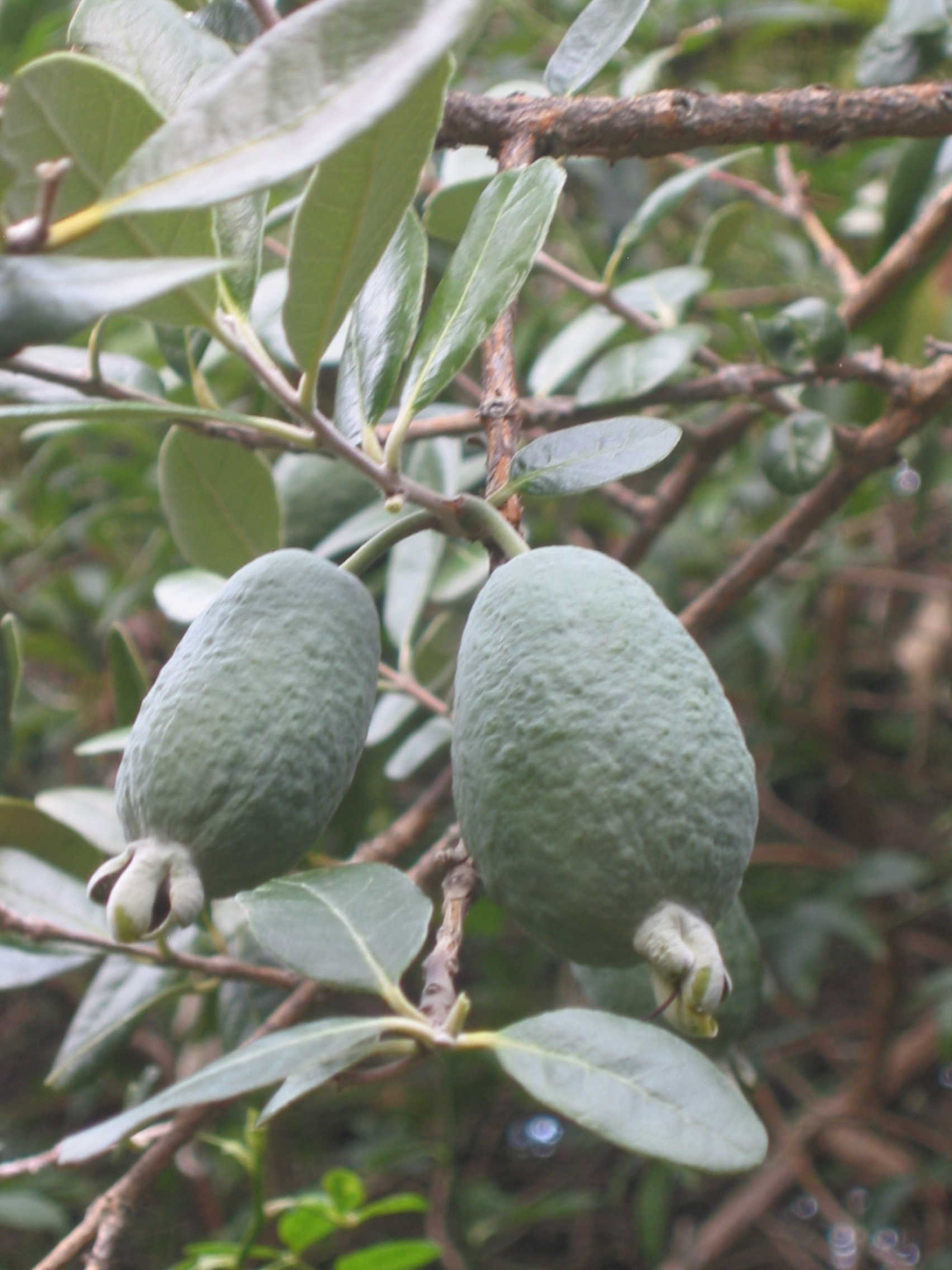 guavas fruit and old memories The guava fruit dream dream consists of 23 symbols: if fruit has worms or is rotted particularly from old memories and from missing people.